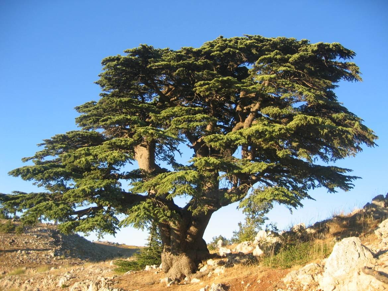 Cedre Du Liban